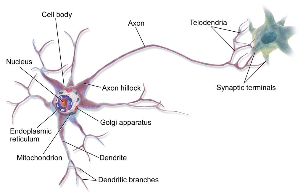 A brain cell